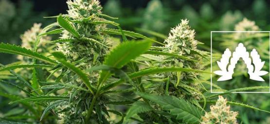 Las 5 Mejores Variedades De Cannabis Para Cultivar En SOG