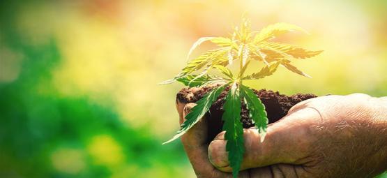 Lo Que Debes Saber Antes De Cultivar Cannabis