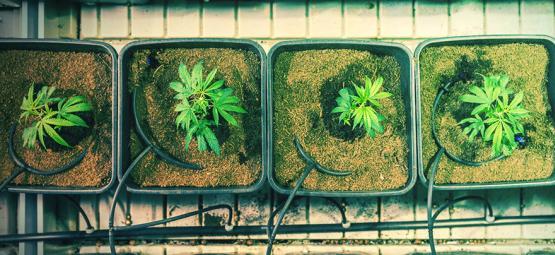 Cómo y Cuándo Trasplantar El Cannabis Para Conseguir Mayores Cosechas