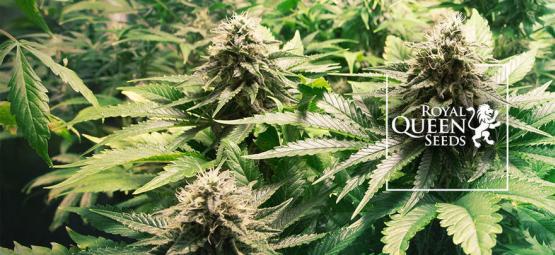 Las 10 Mejores Variedades De Cannabis De Royal Queen Seeds