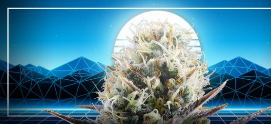 El Pináculo De La Evolución Del Cannabis: La Blue 2.0