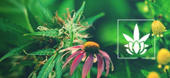 Los Cannabinoides No Son Exclusivos Del Cannabis