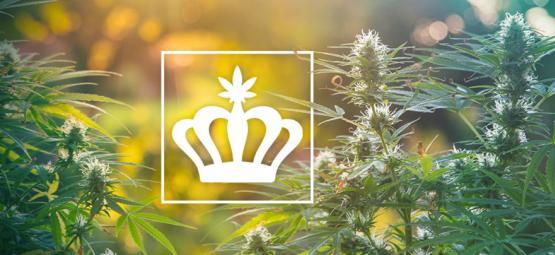 ¿Qué Son Las Variedades De Cannabis Heirloom?
