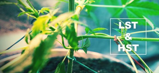 Técnicas HST Y LST Para Entrenar Tus Plantas De Cannabis