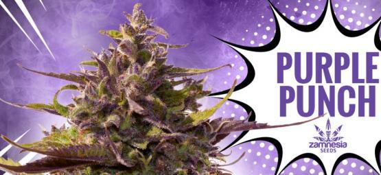 Purple Punch: Sabor, Potencia Y Belleza – Todo En Una Cepa