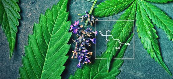 ¿Qué Es El Linalool Y Cómo Interactúa Con El Cannabis?