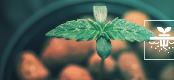 5 Variedades De Cannabis Ideales Para El Cultivo Hidropónico En Aguas Profundas