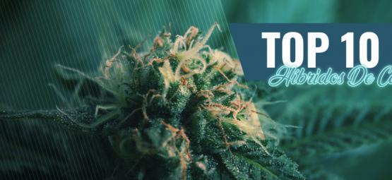 Top 10 De Híbridos De Cannabis De Ámsterdam