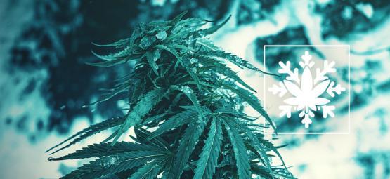 Cómo Cultivar Marihuana En Invierno (Sí, ¡Se Puede!)
