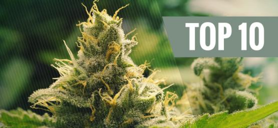Las 10 Mejores Variedades De Cannabis Clásicas