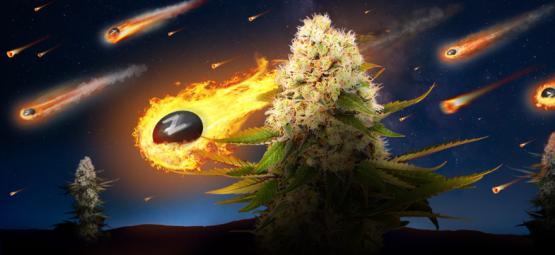Zamnesia x Exotic Seed: Black Zkittlez (Edición Limitada)