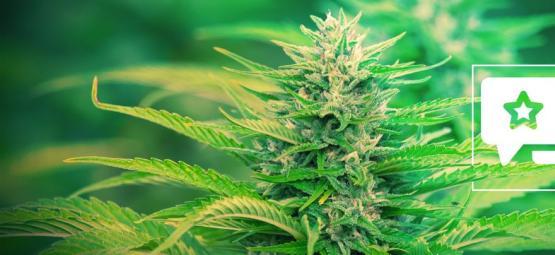 Gorilla Zkittlez: Análisis & Información De La Cepa De Cannabis