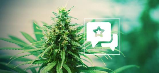 Tangerine Dream: Análisis & Información De La Cepa De Cannabis