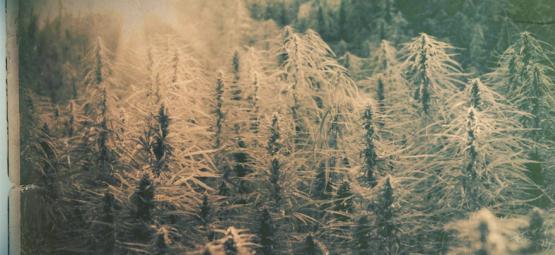 Cepas Autóctonas: Las 5 Cepas De Cannabis Más Antiguas