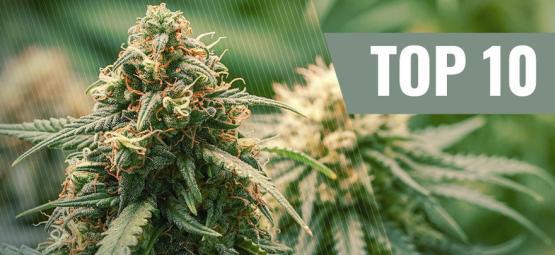 Las 10 Mejores Variedades De Marihuana Haze