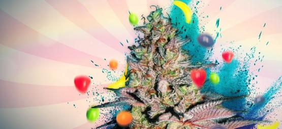 Runtz Auto: Análisis E Información De La Variedad De Marihuana