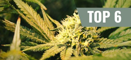 Las 6 Mejores Variedades De Marihuana Ricas En THCV