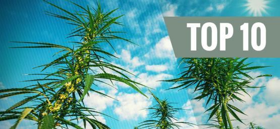 Las 10 Mejores Variedades De Cannabis Feminizadas De Alta Productividad