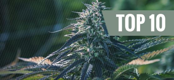 Las 10 Variedades De Marihuana Más Exclusivas