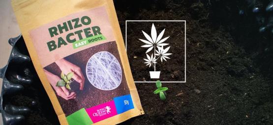 Cómo Potenciar El Crecimiento Del Cannabis Con Rizobacterias