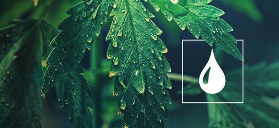 ¿Cuánta Agua Necesitan las Plantas de Cannabis?