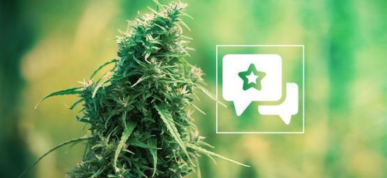 Sour Diesel: Análisis E Información De La Cepa De Cannabis