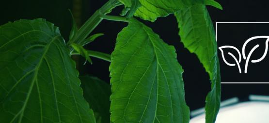 Cómo Cultivar Salvia Divinorum