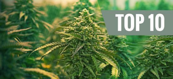 Las 10 Mejores Cepas De Cannabis Feminizadas