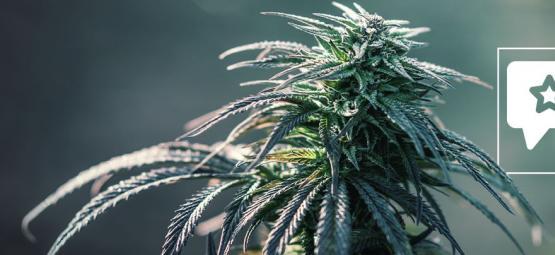 Northern Lights: Análisis & Información De La Cepa De Cannabis
