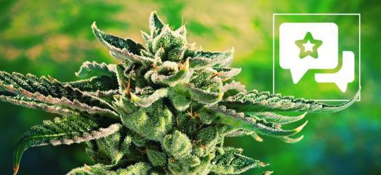 Blue Cheese: Análisis & Información De La Cepa De Cannabis