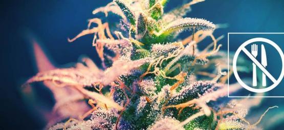¿Una Cepa De Cannabis Que No Produce Hambre?