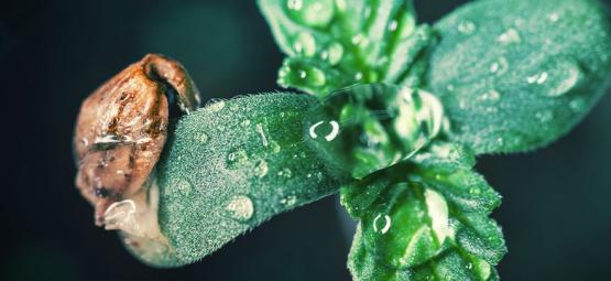 Consejos De Cultivo: Cómo Cuidar De Los Plantones De Cannabis