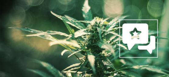 White Russian: Análisis & Información De La Cepa De Cannabis