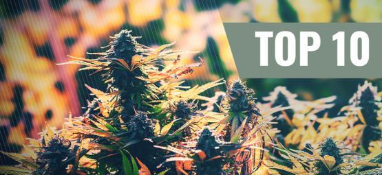 Top 10 De Cepas De Cannabis Feminizadas Para Exterior