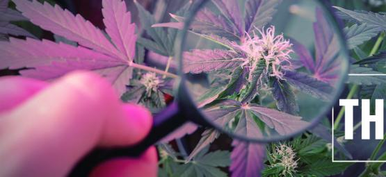 Consejos de Cultivo: Potencia el THC con Luz UV