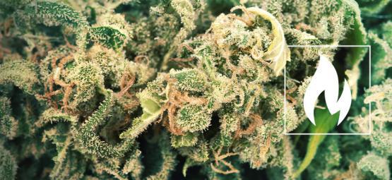 ¿Cómo Y Por Qué Se Debe Descarboxilar El Cannabis?