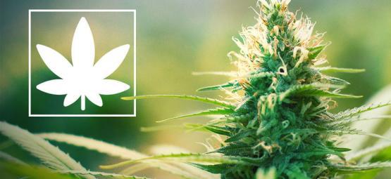 Jack Herer: Activista Pro Marihuana