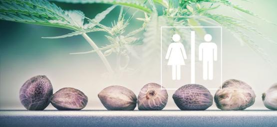 ¿Sabes Diferenciar El Sexo De Una Semilla De Cannabis?