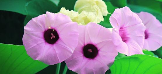 Hawaiian Baby Woodrose: Un Psicodélico Natural