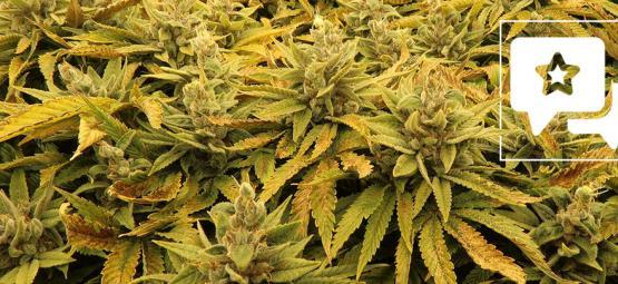Reseña de Cepa: Bubba's Gift