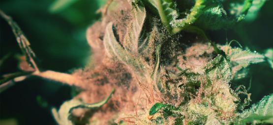 Cómo Detectar Y Evitar La Podredumbre Del Cogollo Al Cultivar Cannabis