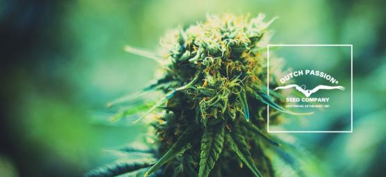 Conoce Dutch Passion: Un Vistazo A Sus Populares Variedades de Cannabis