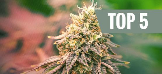 Top 5 De Variedades De Marihuana Índica Para El 2019