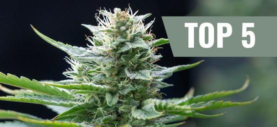 Top 5 De Variedades De Marihuana Sativa Para 2020