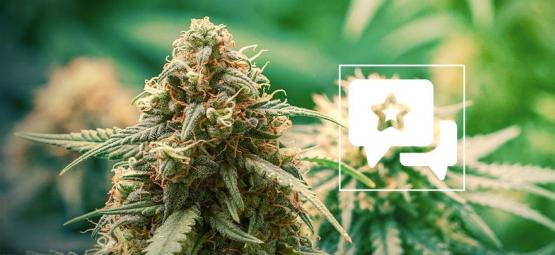 Master Kush: Análisis & Información De La Cepa De Cannabis