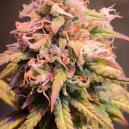 Reseña de Variedad: Shining Silver Haze de Royal Queen Seeds