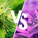 Diferencias entre las variedades Kush y Haze