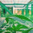 Cultivo vertical de cannabis: ¿nueva tendencia?