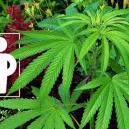 Plantas Asociadas Para Estimular Y Proteger Tu Cultivo De Cannabis