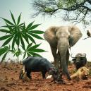 Vete De Safari Con 5 Variedades De Cannabis Que Recuerdan A Los